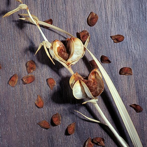 Pep Bonet Capellá-Frutos y semillas-Fotografía botánica (1)