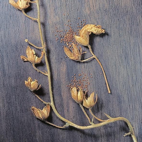 Pep Bonet Capellá-Frutos y semillas-Fotografía botánica (10)