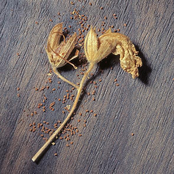 Pep Bonet Capellá-Frutos y semillas-Fotografía botánica (11)