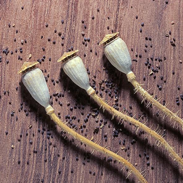 Pep Bonet Capellá-Frutos y semillas-Fotografía botánica (12)