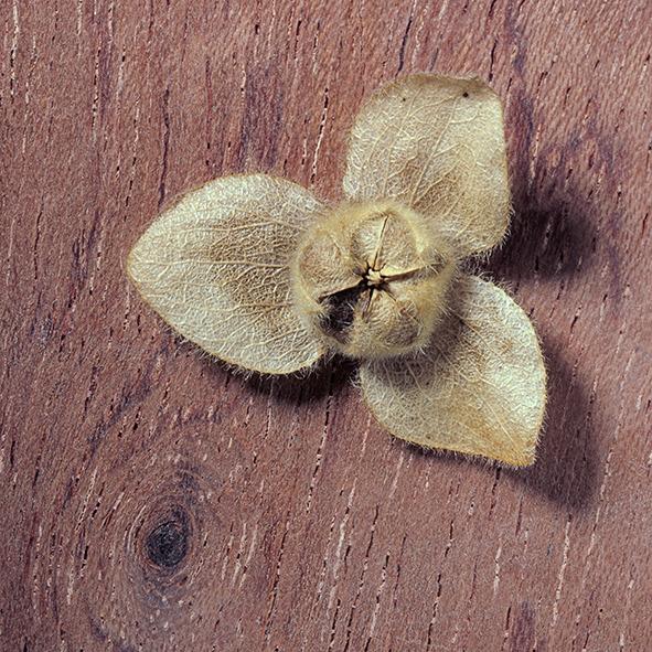 Pep Bonet Capellá-Frutos y semillas-Fotografía botánica (14)