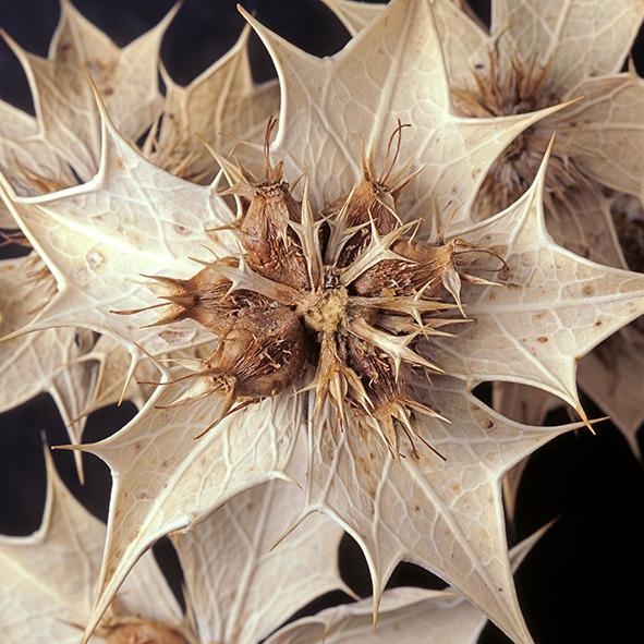 Pep Bonet Capellá-Frutos y semillas-Fotografía botánica (16)