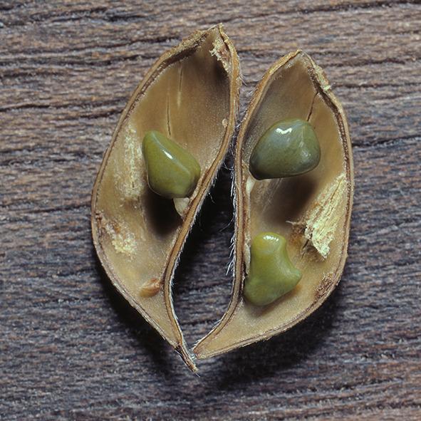 Pep Bonet Capellá-Frutos y semillas-Fotografía botánica (19)