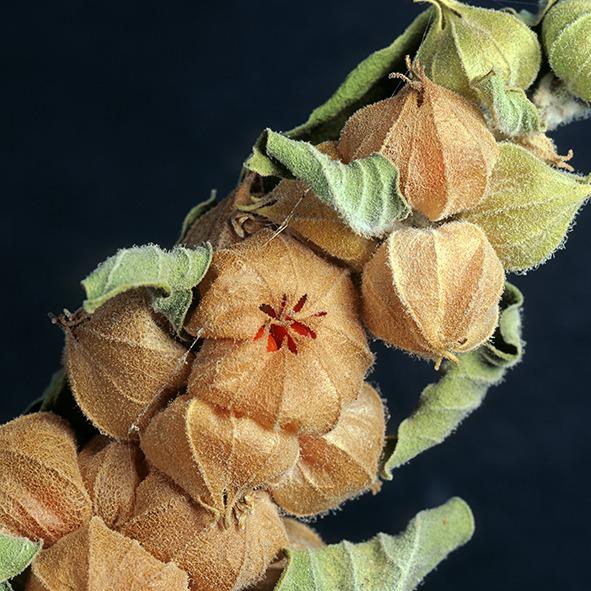 Pep Bonet Capellá-Frutos y semillas-Fotografía botánica (20)