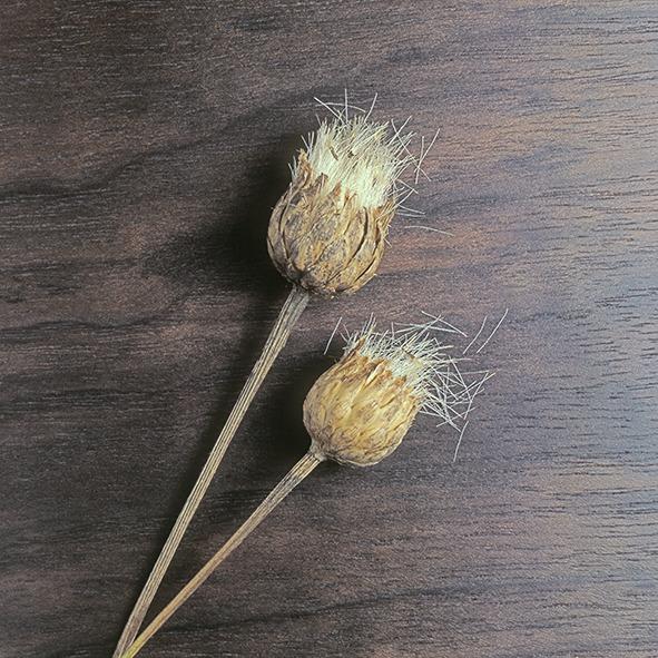Pep Bonet Capellá-Frutos y semillas-Fotografía botánica (24)