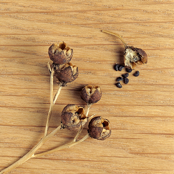 Pep Bonet Capellá-Frutos y semillas-Fotografía botánica (25)