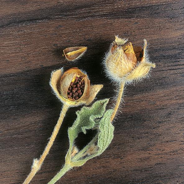 Pep Bonet Capellá-Frutos y semillas-Fotografía botánica (27)