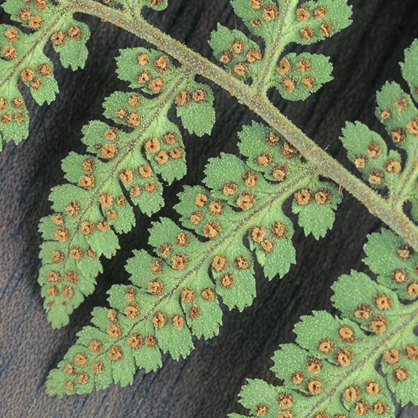 Pep Bonet Capellá-Frutos y semillas-Fotografía botánica (29)