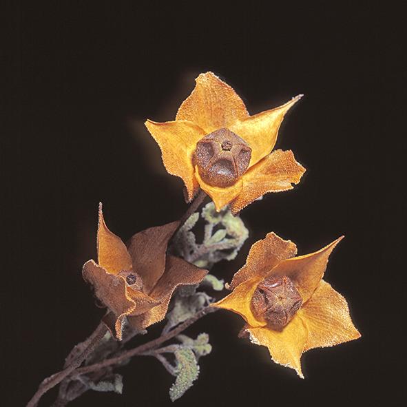 Pep Bonet Capellá-Frutos y semillas-Fotografía botánica (3)