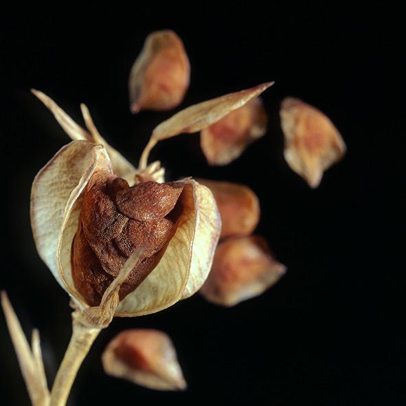 Pep Bonet Capellá-Frutos y semillas-Fotografía botánica (32)