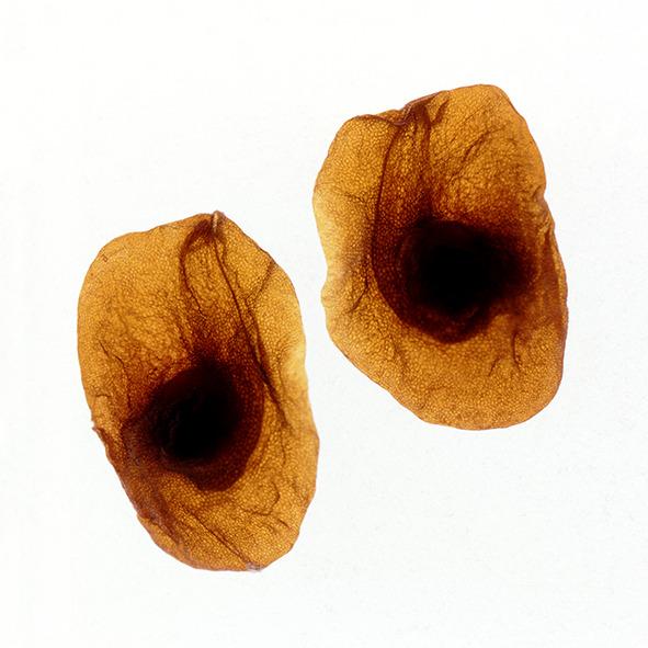 Pep Bonet Capellá-Frutos y semillas-Fotografía botánica (4)