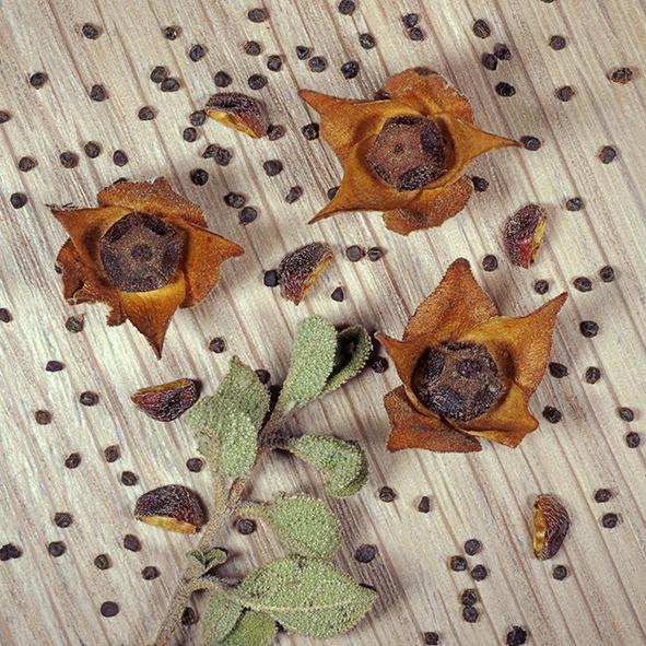 Pep Bonet Capellá-Frutos y semillas-Fotografía botánica (5)