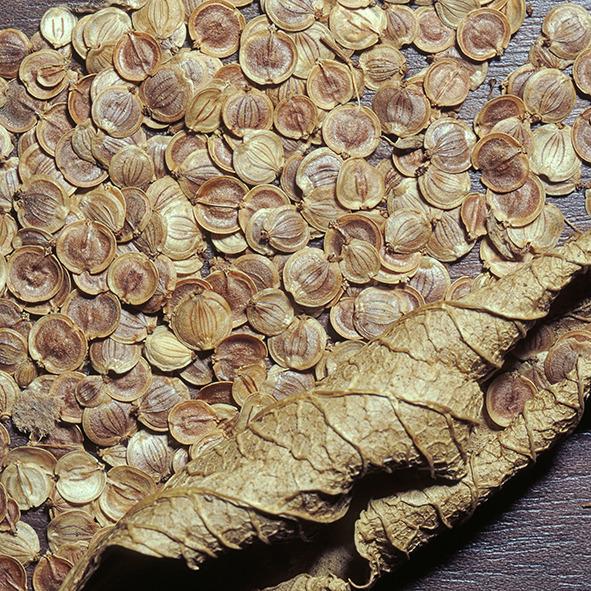 Pep Bonet Capellá-Frutos y semillas-Fotografía botánica (6)