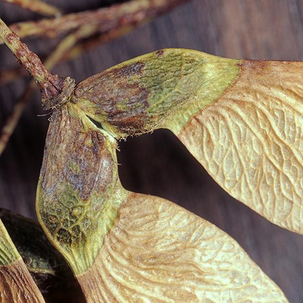 Pep Bonet Capellá-Frutos y semillas-Fotografía botánica (7)