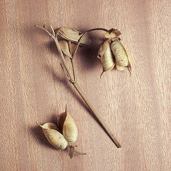 Pep Bonet Capellá-Frutos y semillas-Fotografía botánica (9)