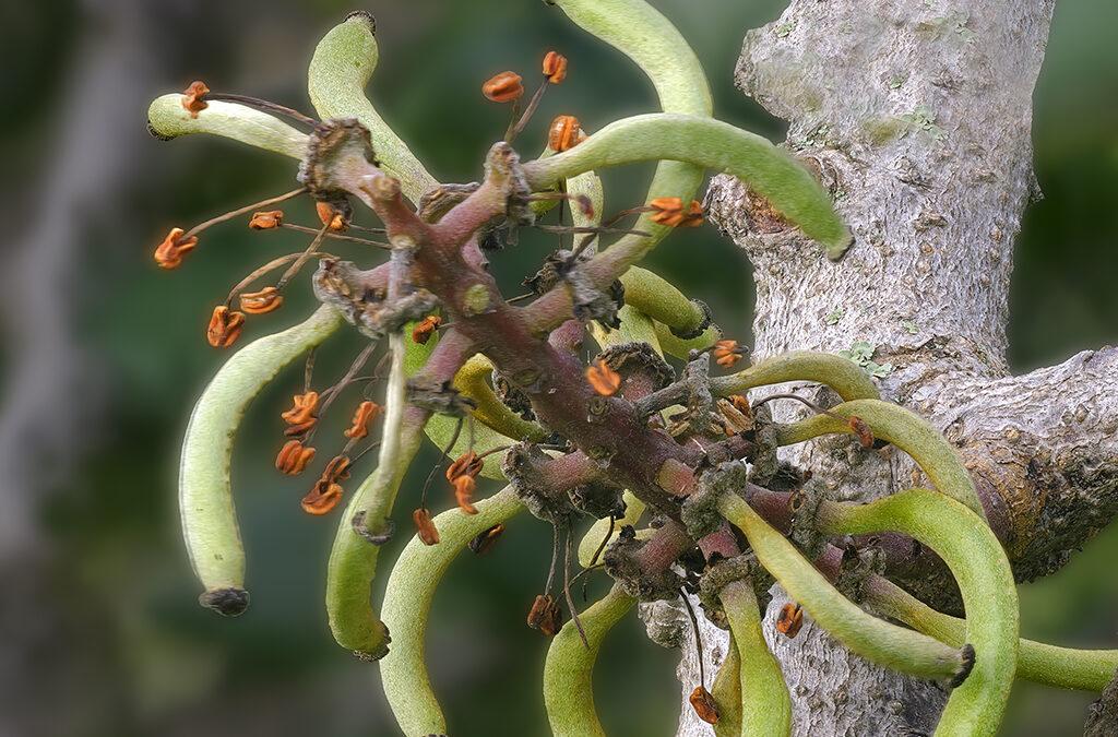 Reincorporación de la flor masculina de Ceratonia siliqua, algarrobo para los amigos